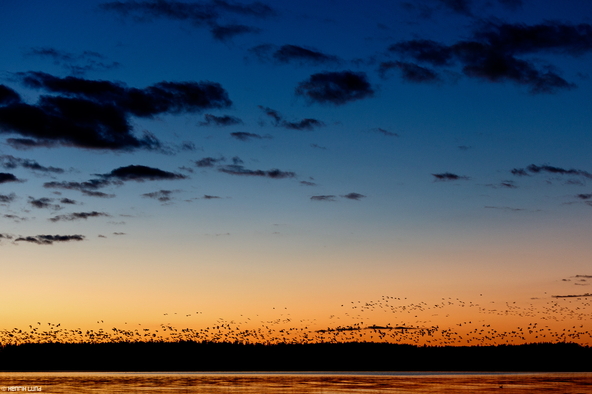 Migrating geese landing in the sunset for a break in lake Lappträsk. Finland, Septmeber 2015.