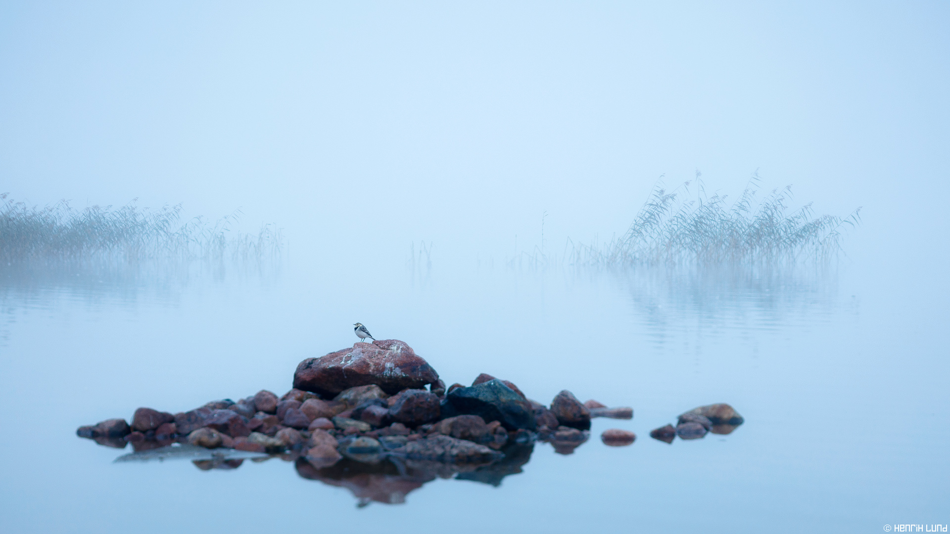 White wagtail posing in early morning mist at lake Lapinjärvi, Finland, September 2015.