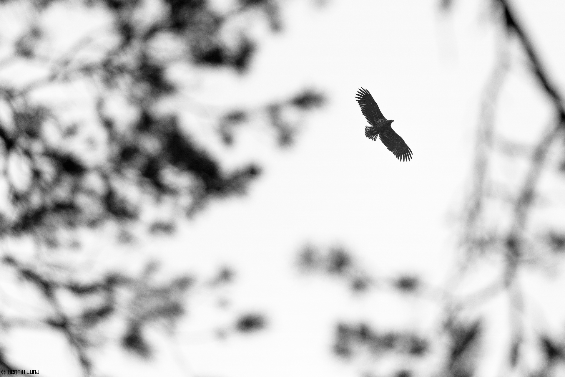 White-tailed eagle in majestic fly captured through the branches of the pine forest. Lappträsk, Finland, November 2015.