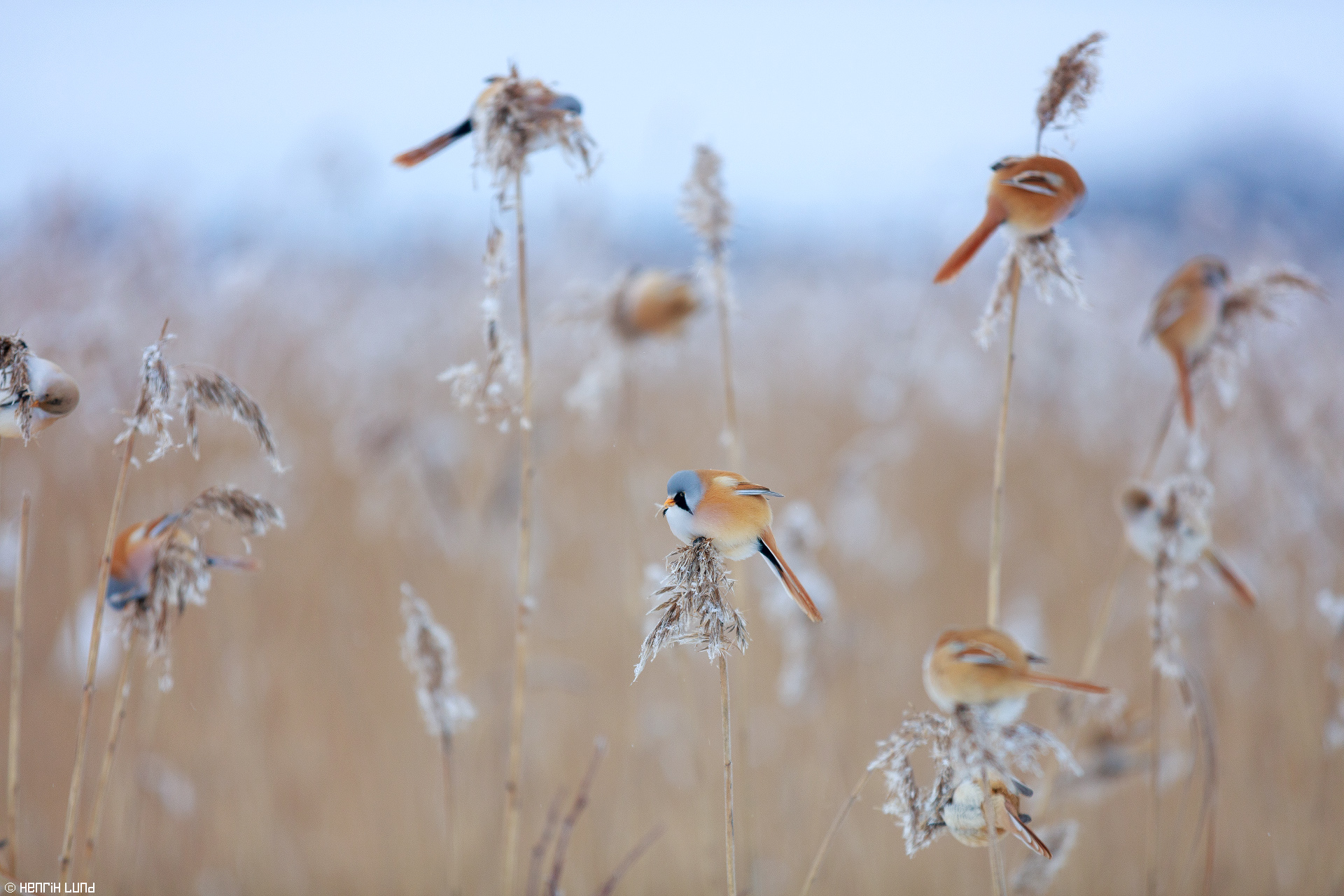 Bearded reedlings dining in the reeds. Svinö, Borgå, Finland. January 2016.