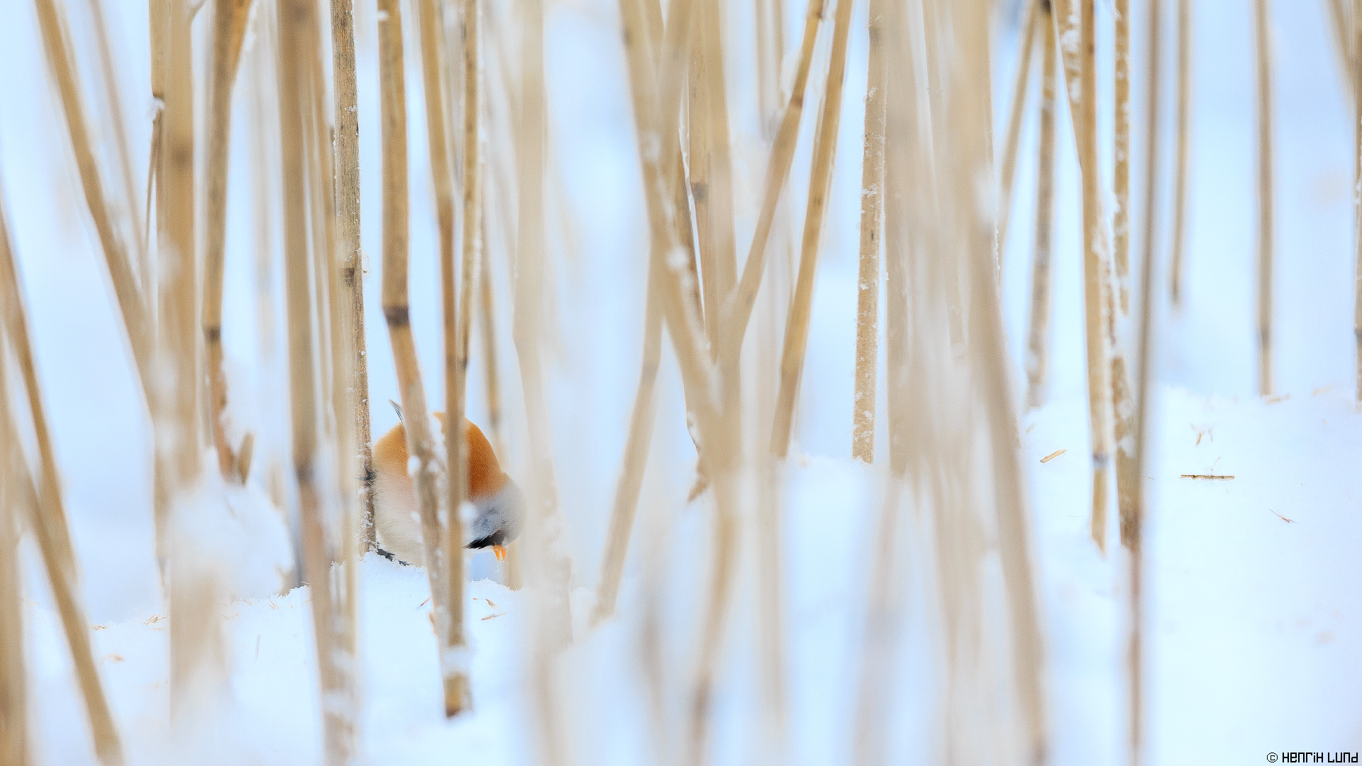 Bearded reedling dining in the reeds. Svinö, Borgå, Finland. January 2016.