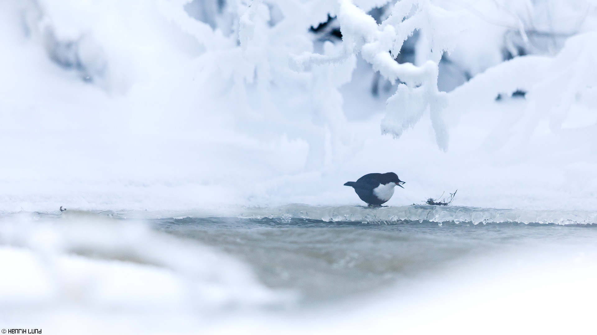 White-throated dipper finding some goodies from the rapids. Porlom, Lappträsk, Finland. January 2016.