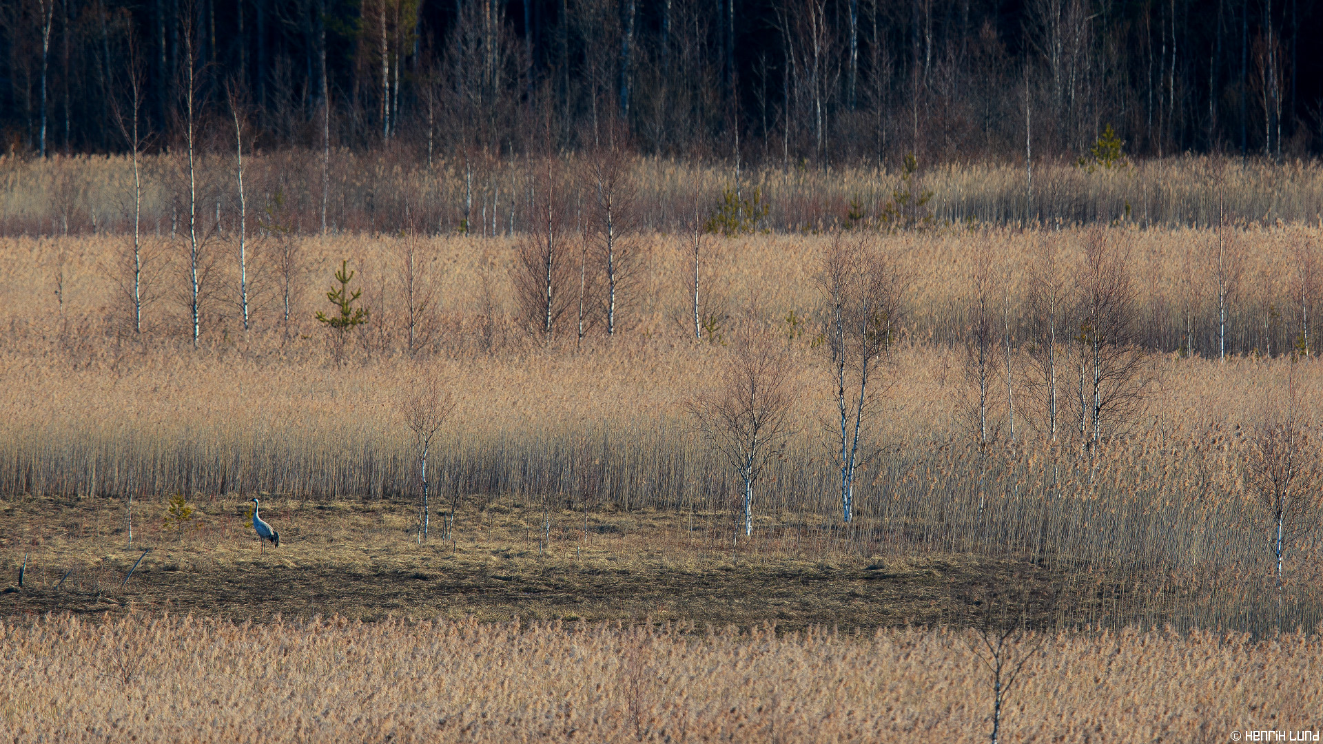 Common Crane arrival to southern Finland. Artjärvi, Finland. April 2016.