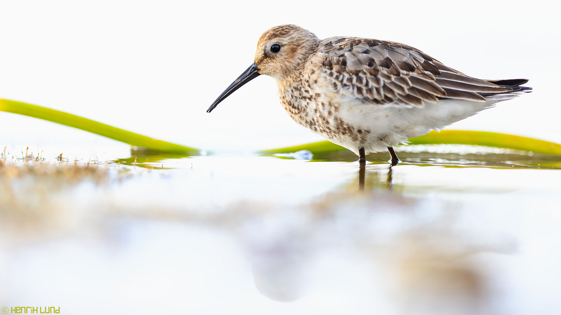 Young dunlin in slightly overexposed background. Lappträsk, Filand. September 2016.
