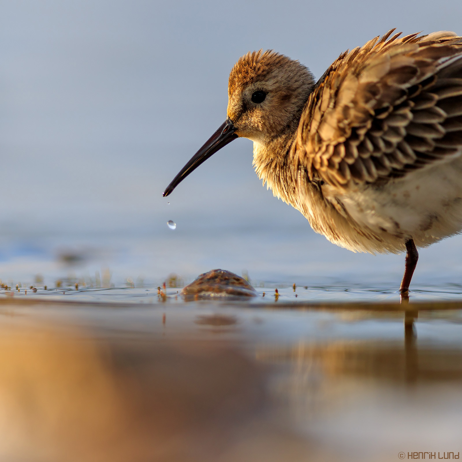 Young dunlin in evening light at the shore of lake Lapinjärvi, Finland. September, 2016.