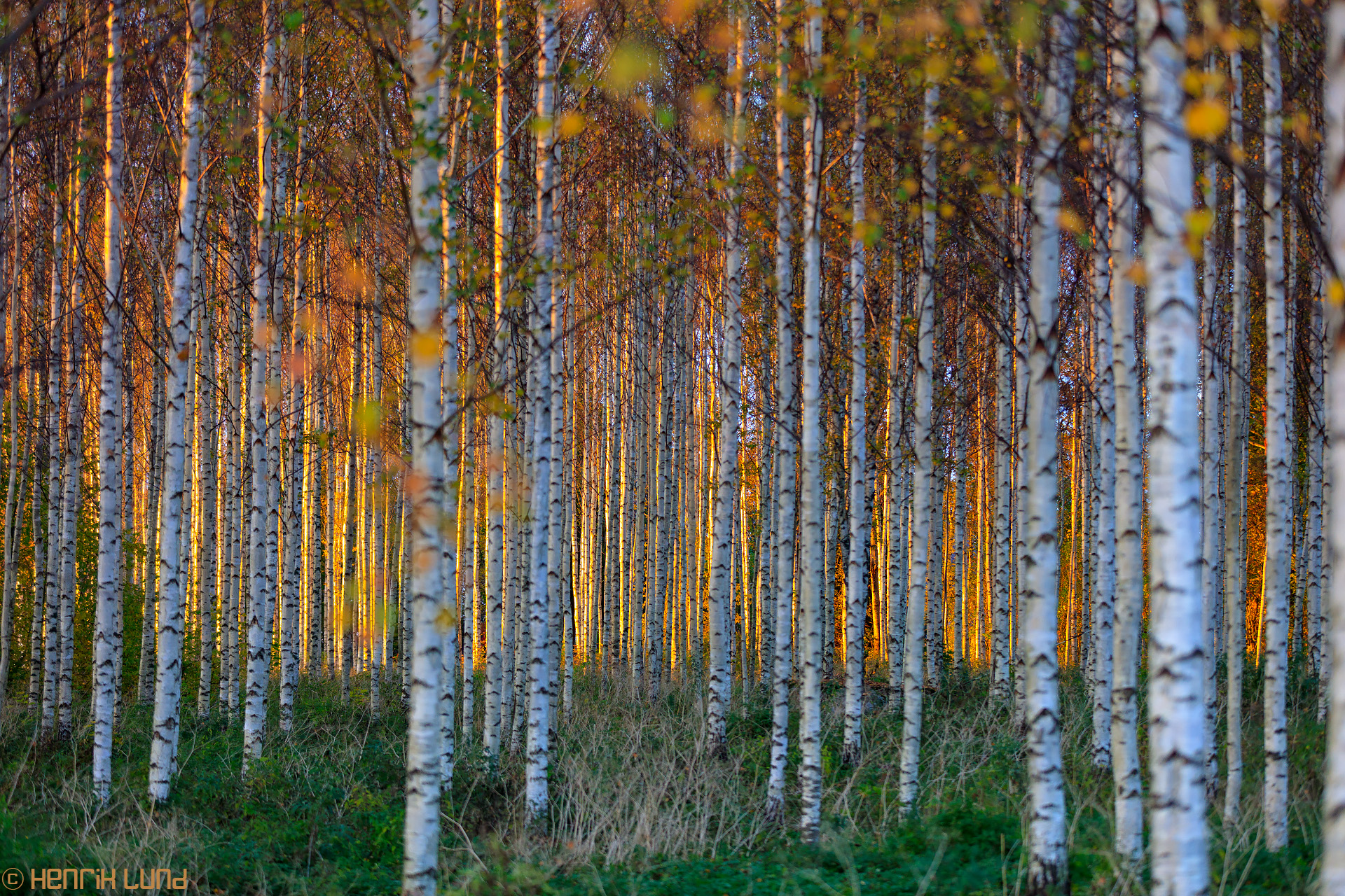 Birch forest at autumn sunset. Kimonkylä, Lapinjärvi, Finland. September 2016.
