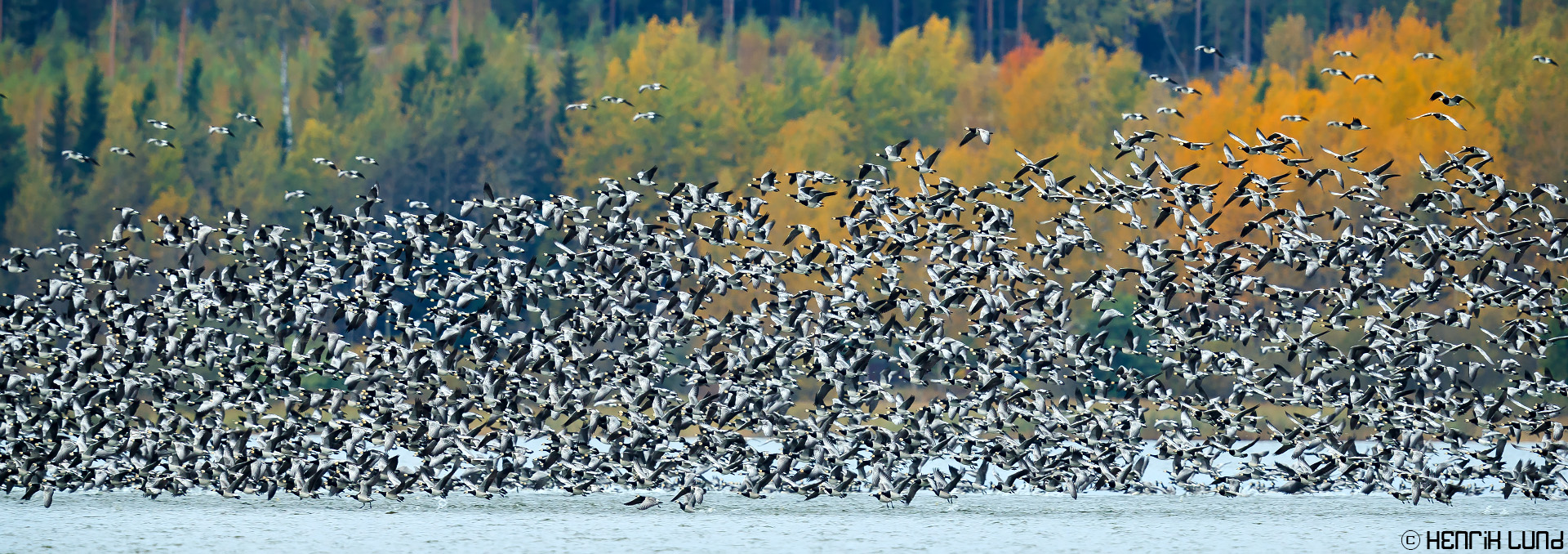 Thousands of barnacle geese taking off lake Lapinjärvi. Finland. September 2016.