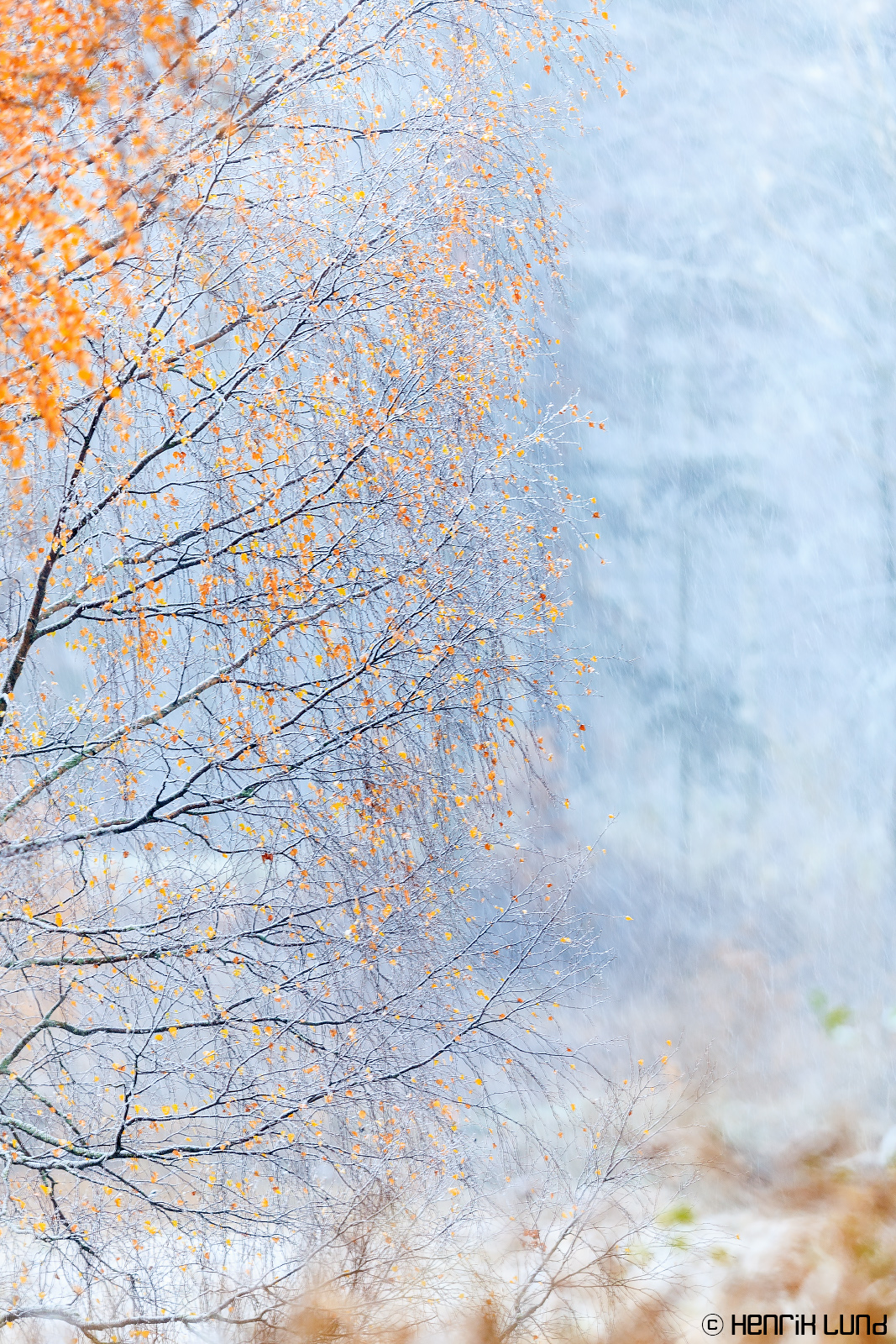 Yellow gets white. First snowfall in autumn 2016. Lappträsk, Finland. October 2016.