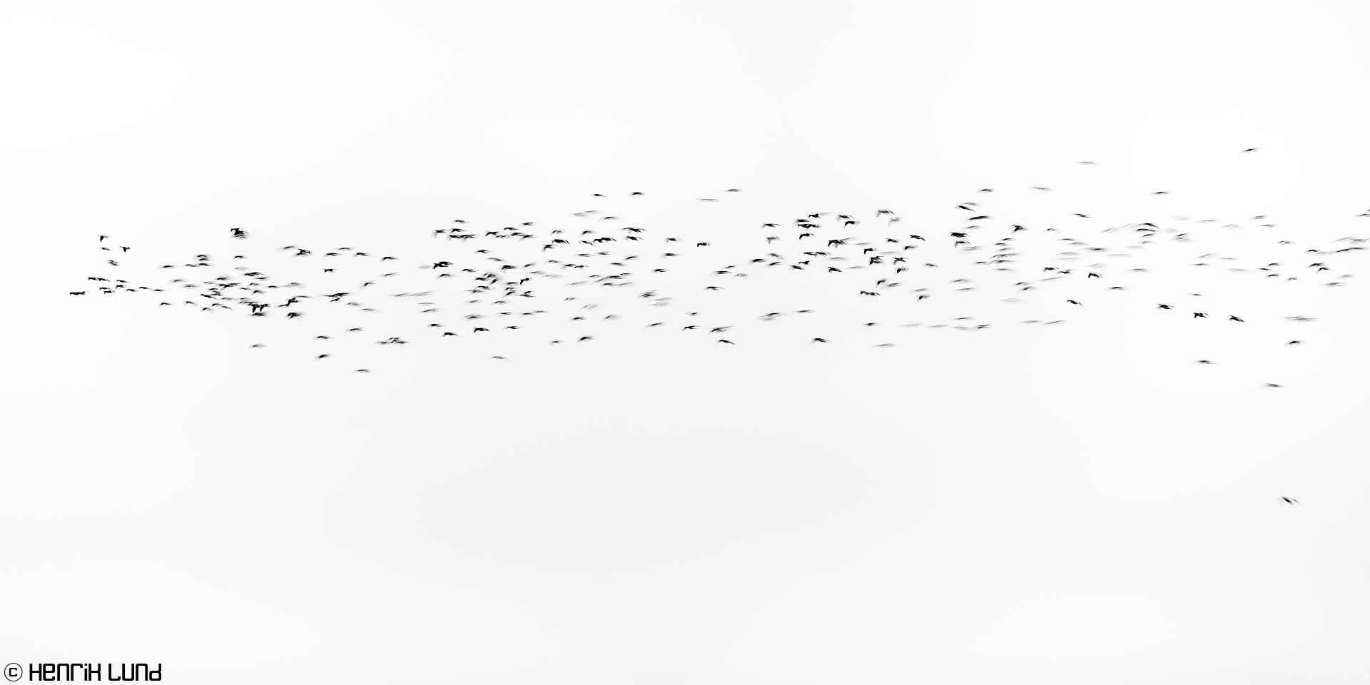 Panning of landing geese at lake Lapinjärvi. Finland, October 2016.