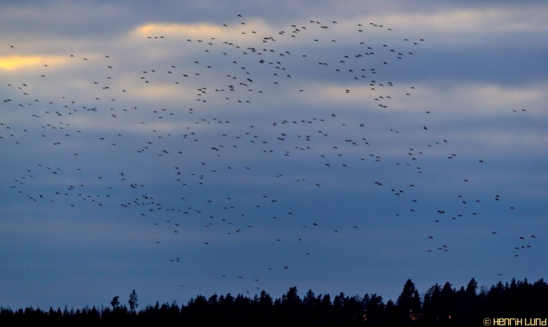 Migrating geese landing at lake Lapinjärvi, Finland. October 2016.