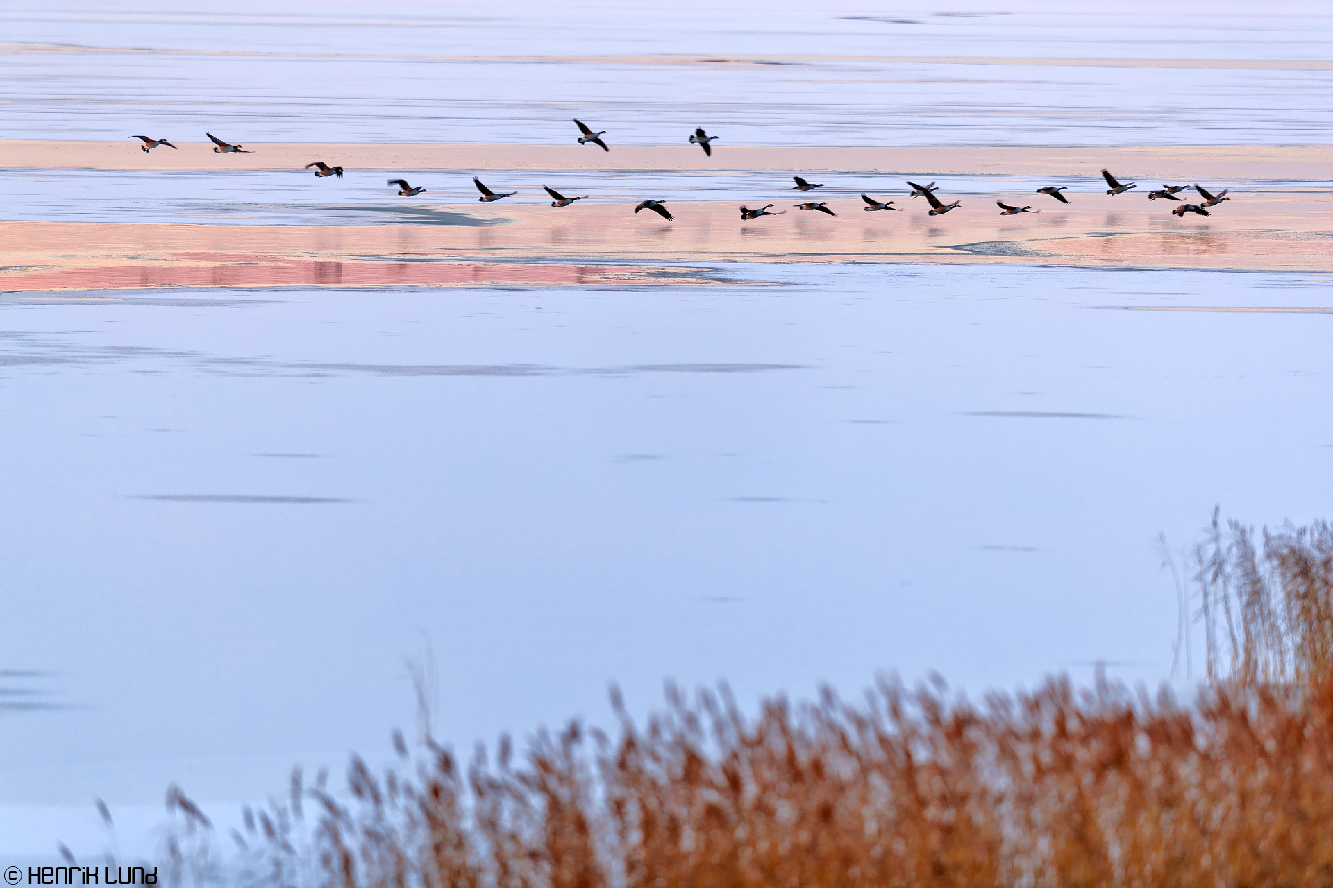 Canada geese searching for the last open waters on the lake. Lappträsk, Finland. November 2016.