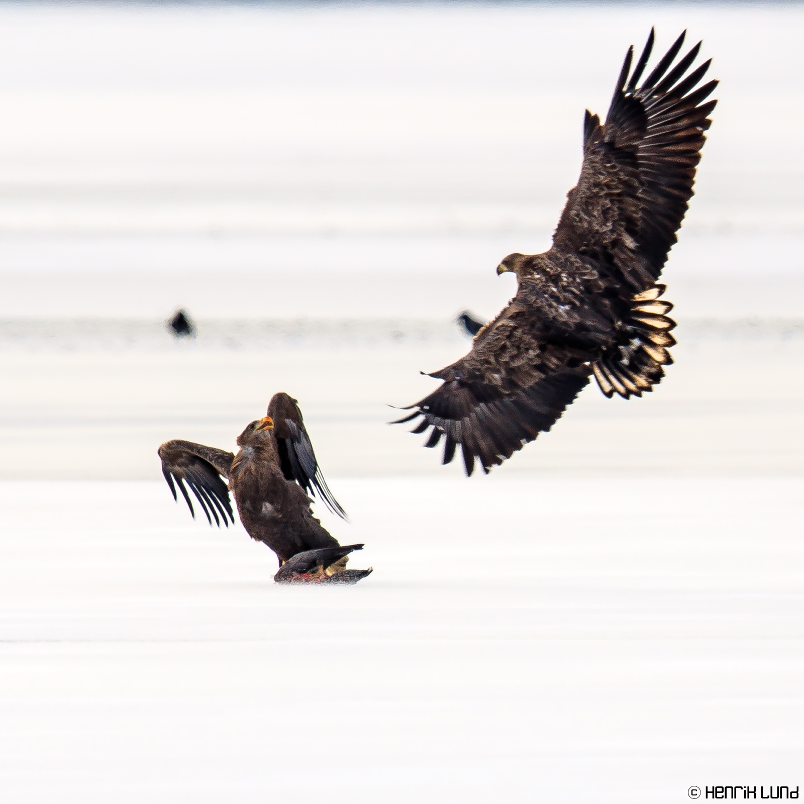White-tailed eagles feasting and fighting over a barnacle goose. Lappträsk, Finland. November 2016.