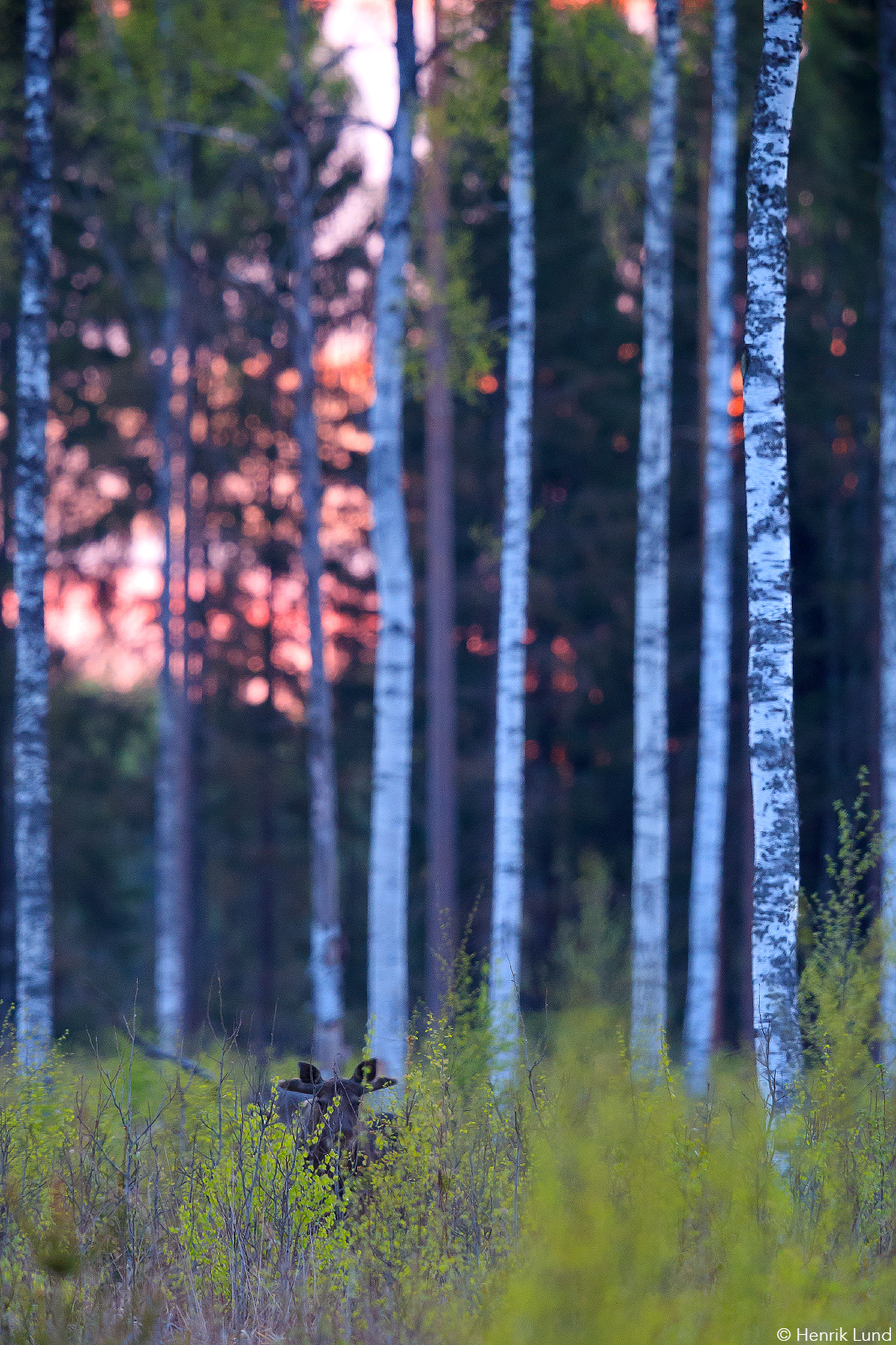 Young male moose feeding on young spruces a late night in may. Pockar, Lappträsk, Finland. May 2017.