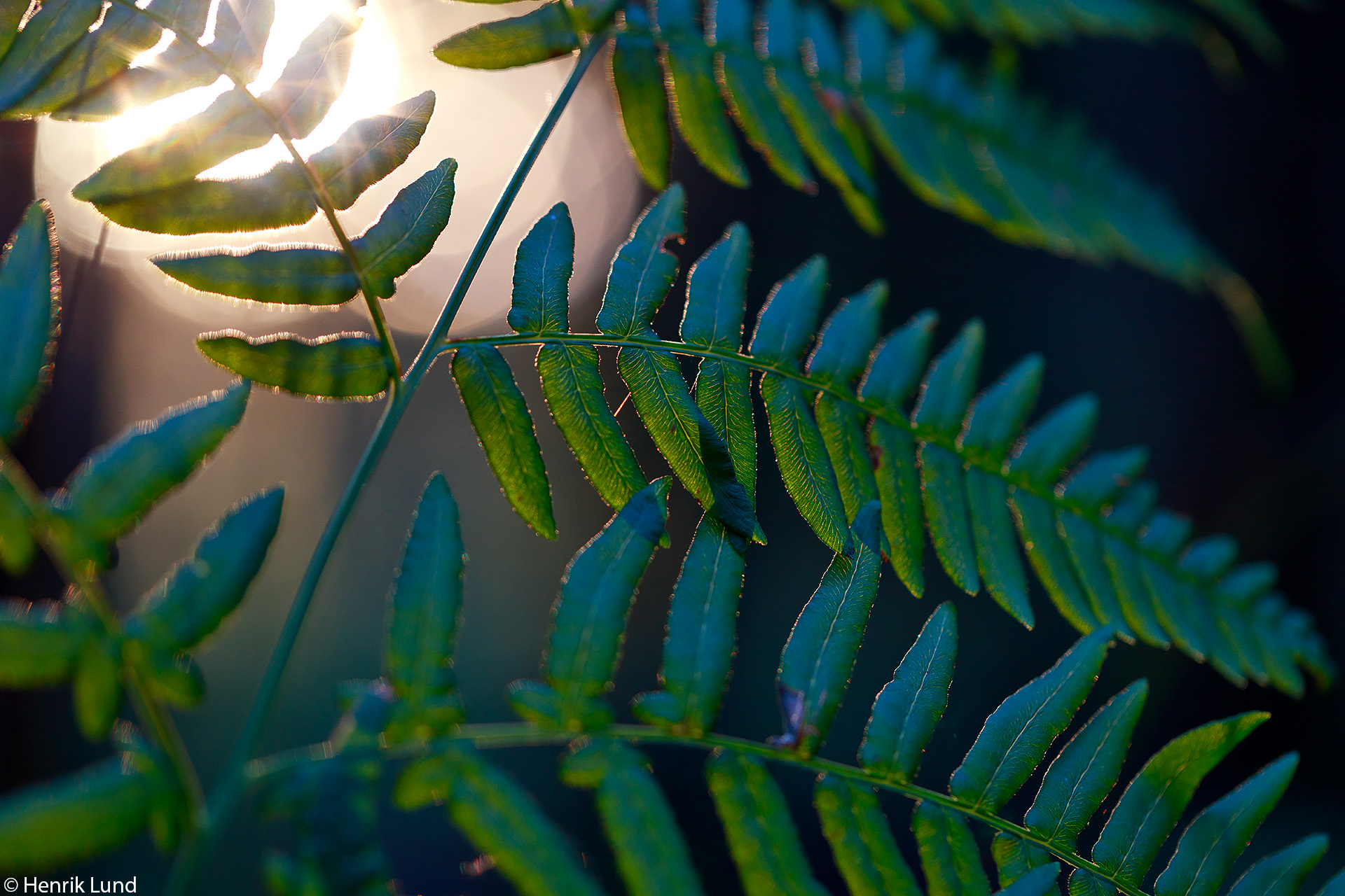 Fern in autumn evening light. Lappträsk, Finland. September 2017.