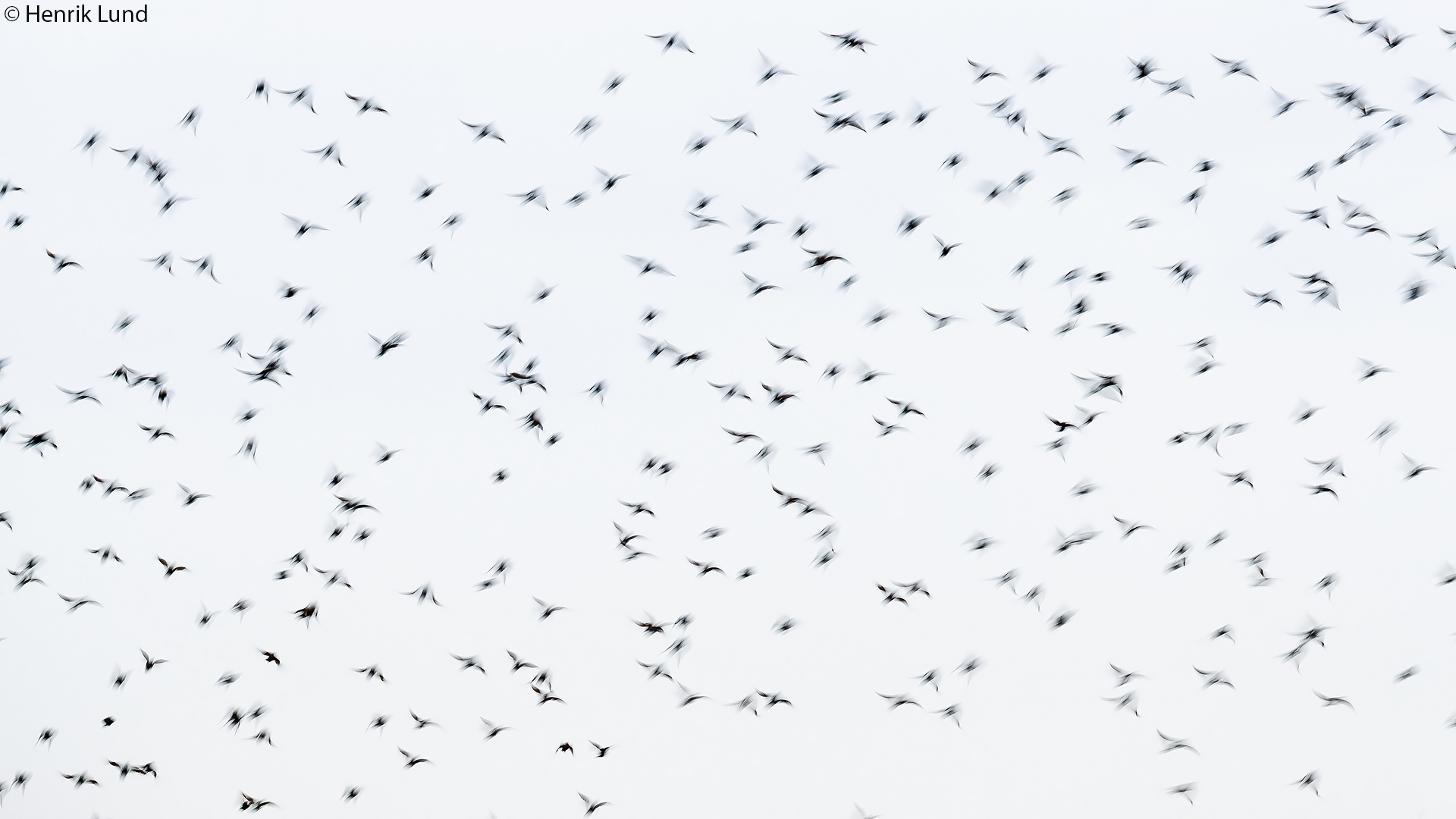 Common starling flock in flight. Lindkoski, Lappträsk, Finland. September 2017.