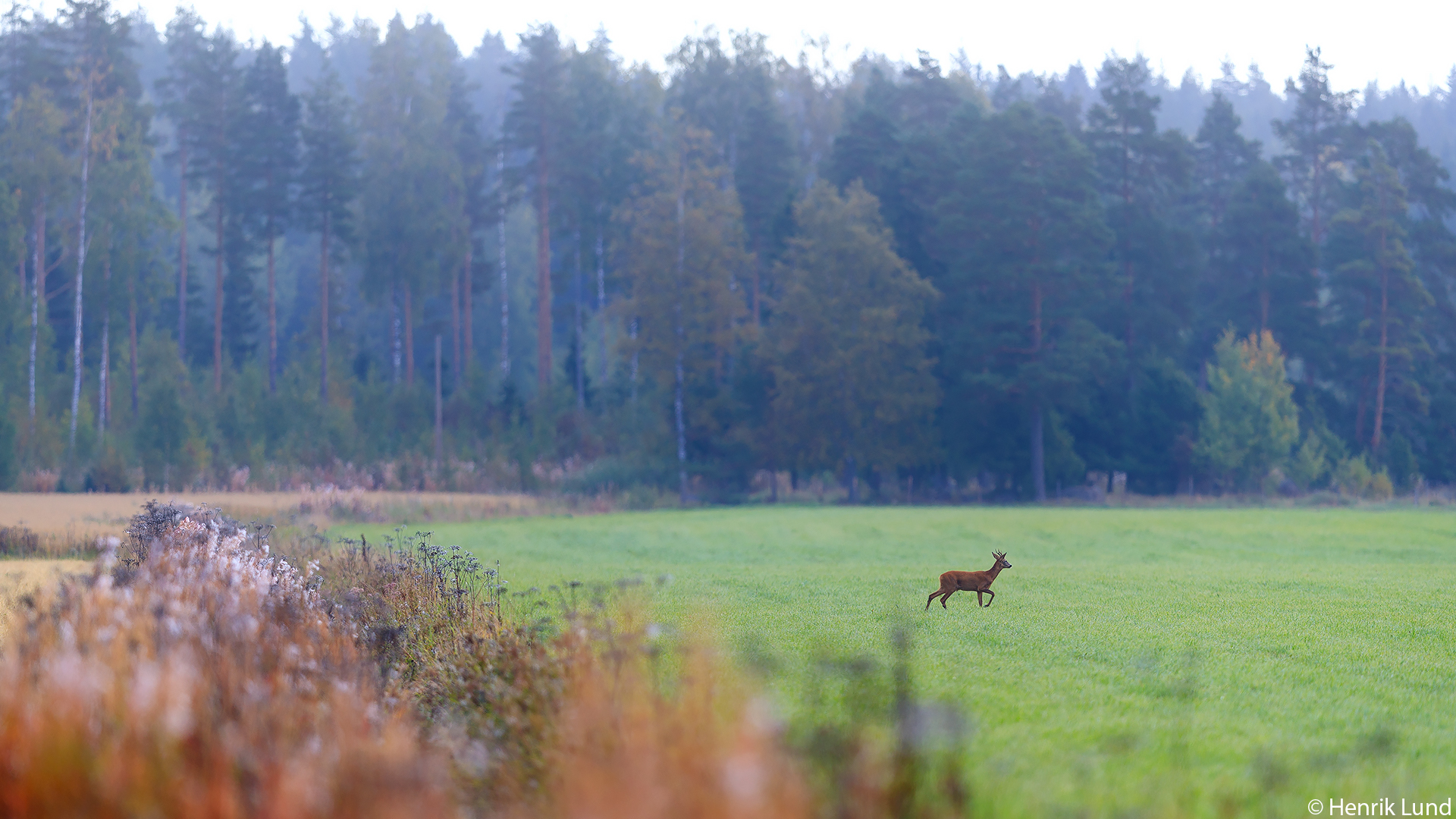 Roedeer crossing the fields in the morning. Lindkoski, Lappträsk, Finland. September 2017.