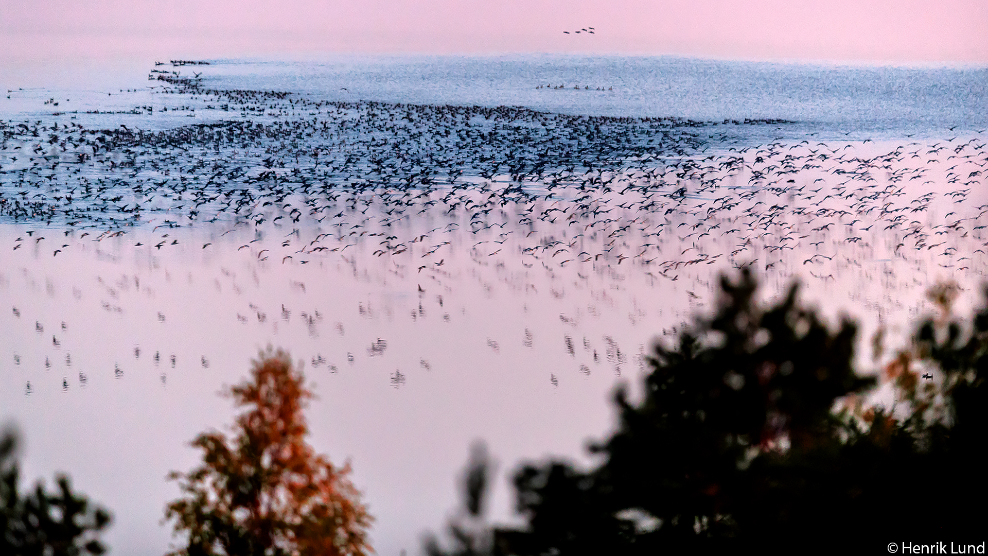 Thousands of barnacle geese landing for the night. Lappträsk, Finland. September 2017.