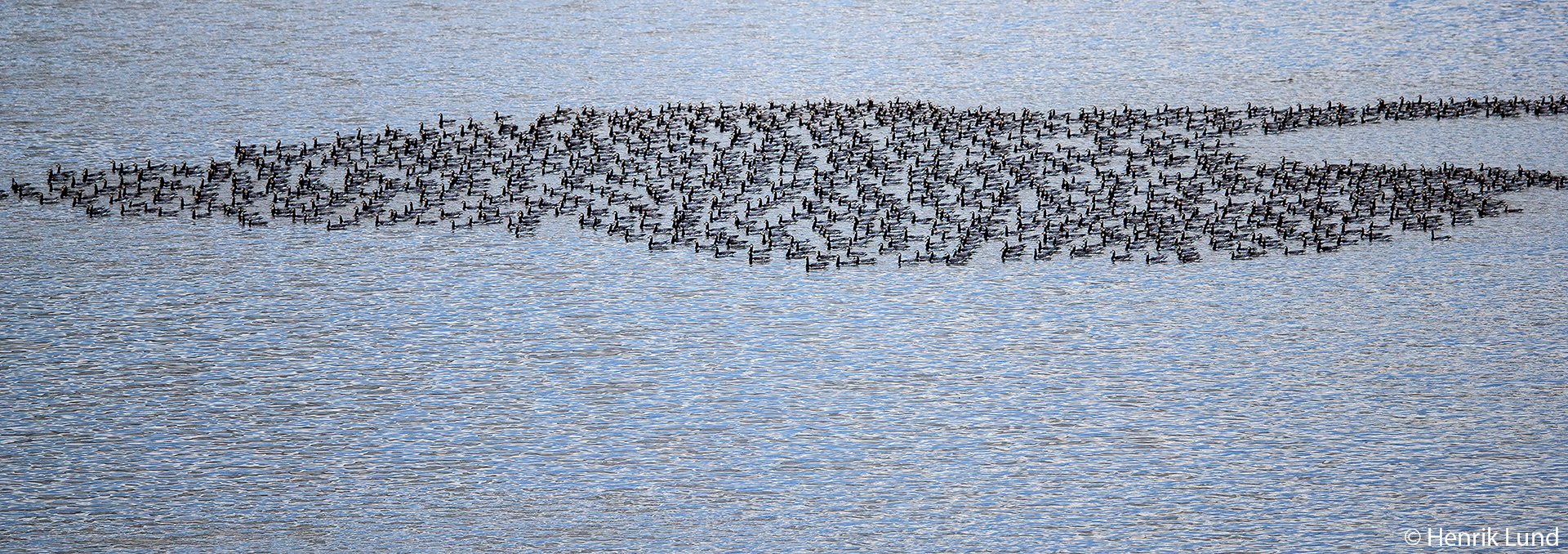 Some thousands of barnacle geese resting at the lake. Lappträsk, Finland. October 2017.