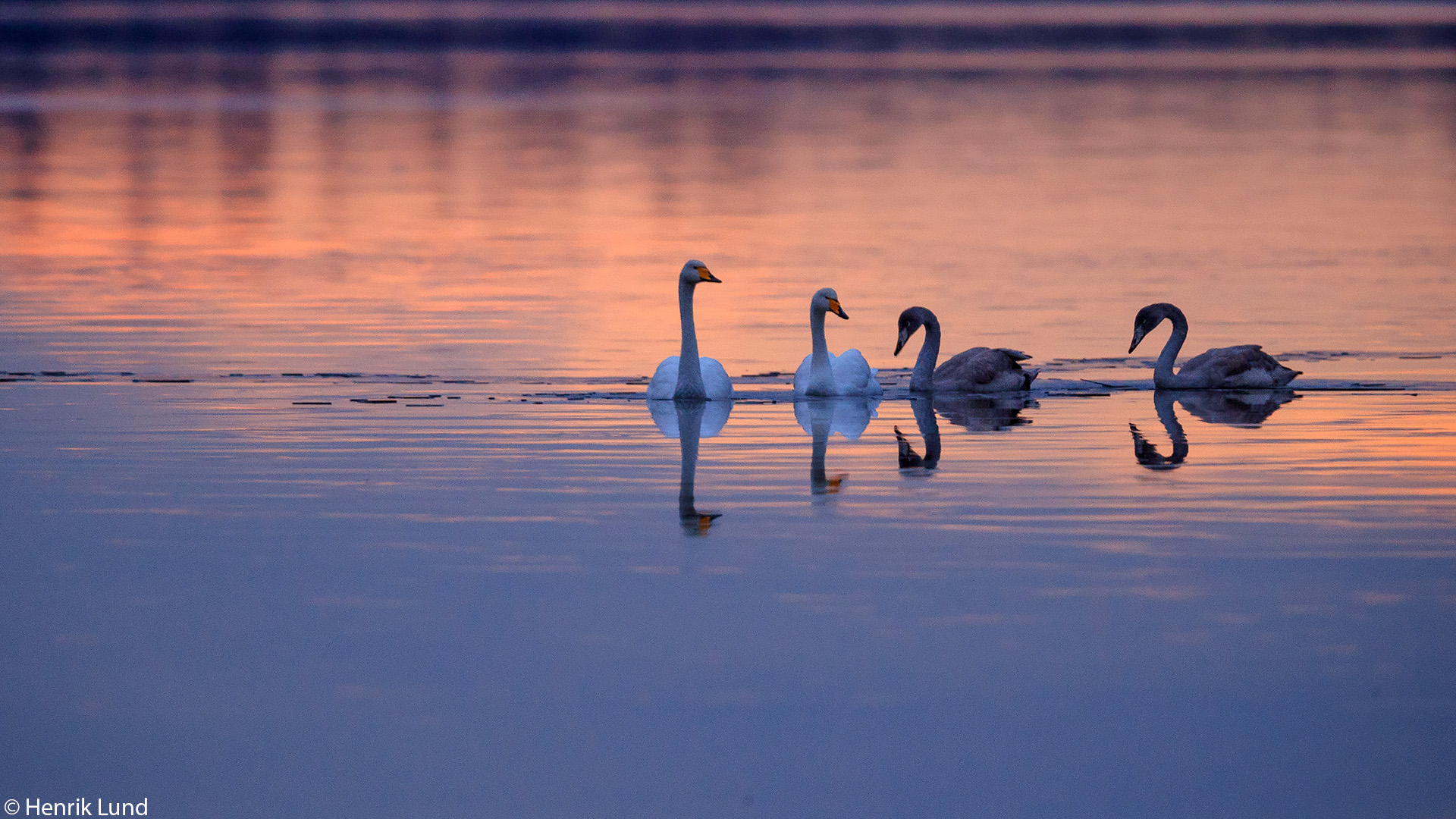 Whooper swans when the first ice cover is setting. Lappträsk, Finland. November 2017.