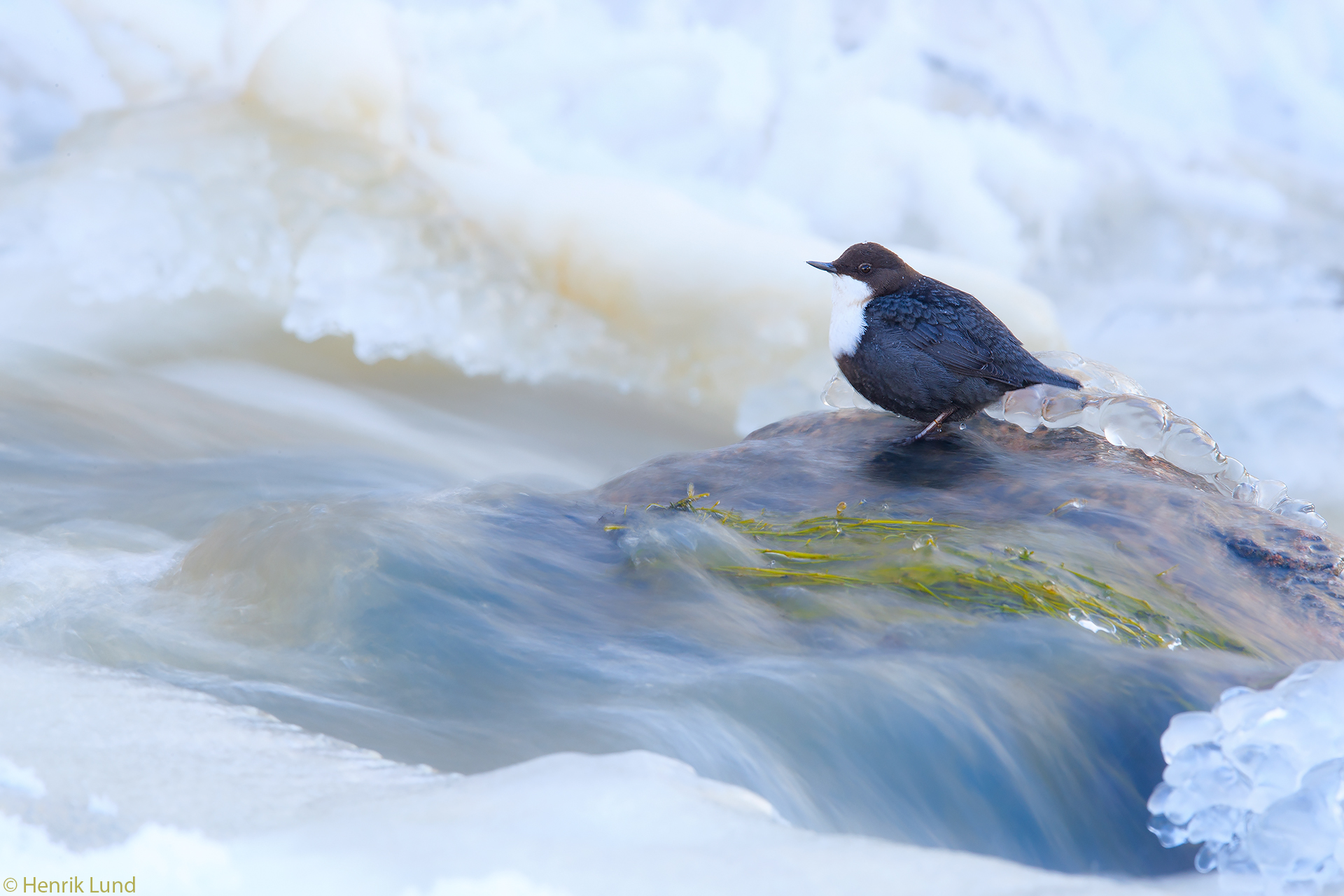 White-Throated dipper posing in a longer exposure at the rapids. Porlammi, Lapinjärvi, Finland. March 2018.