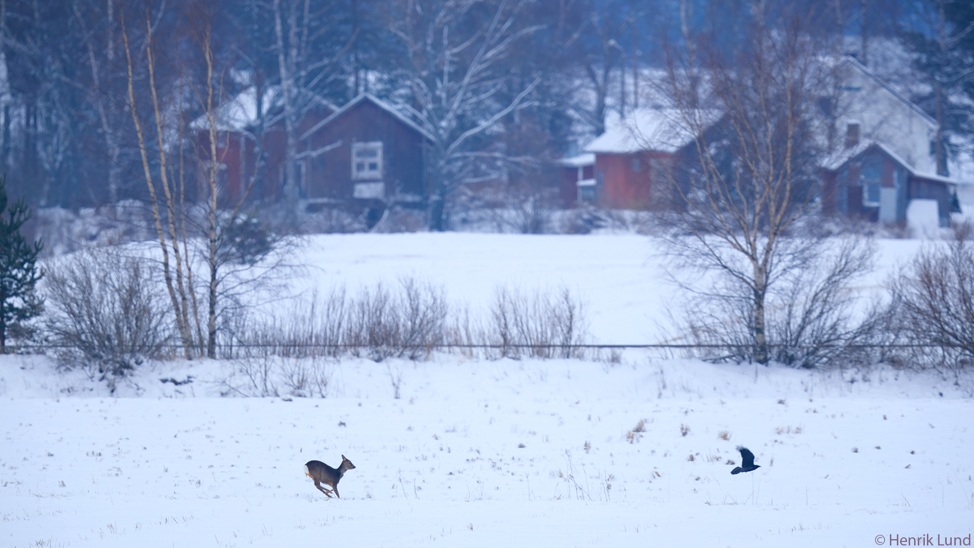 Roe deer chasing a crow on the fields at Andersby in Loviisa, Finland. February 2018.
