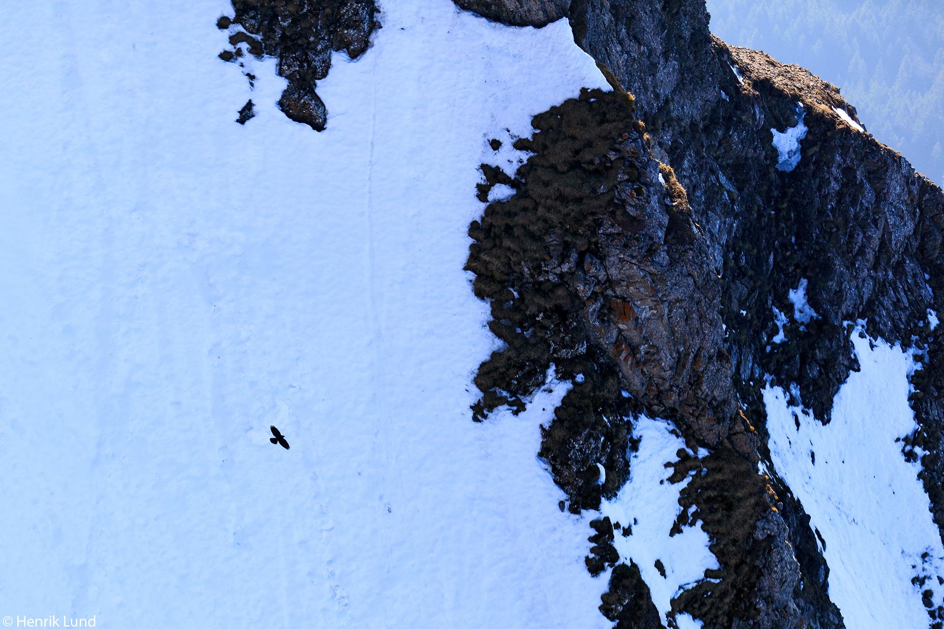Alpine chough in flight over the steep cliff walls on mount Pilatus, Lucerne in Switzerland. April 2018.