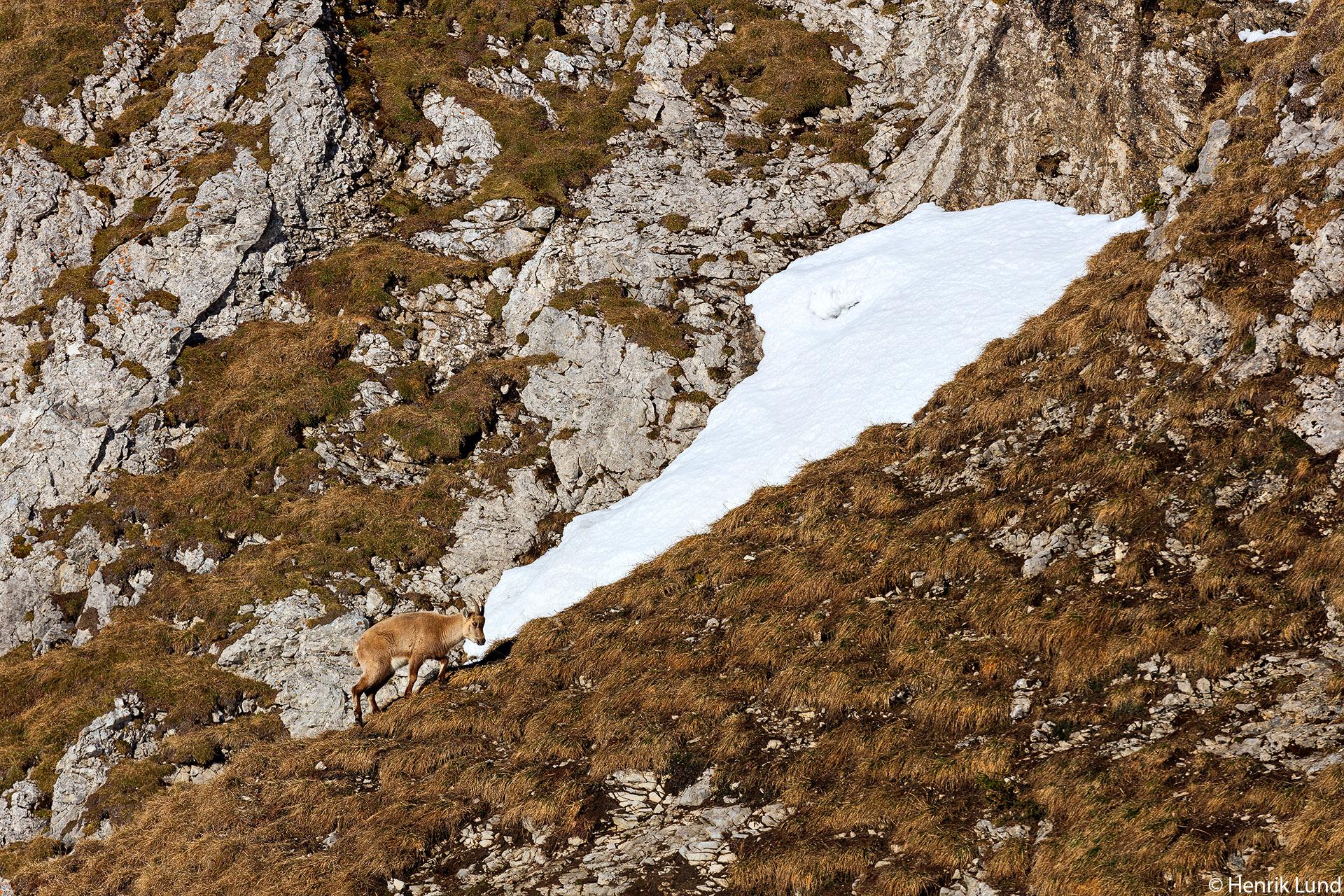 Alpine ibex on the mountain wall of Pilatus, Lucerne, Switzerland. April 2018.