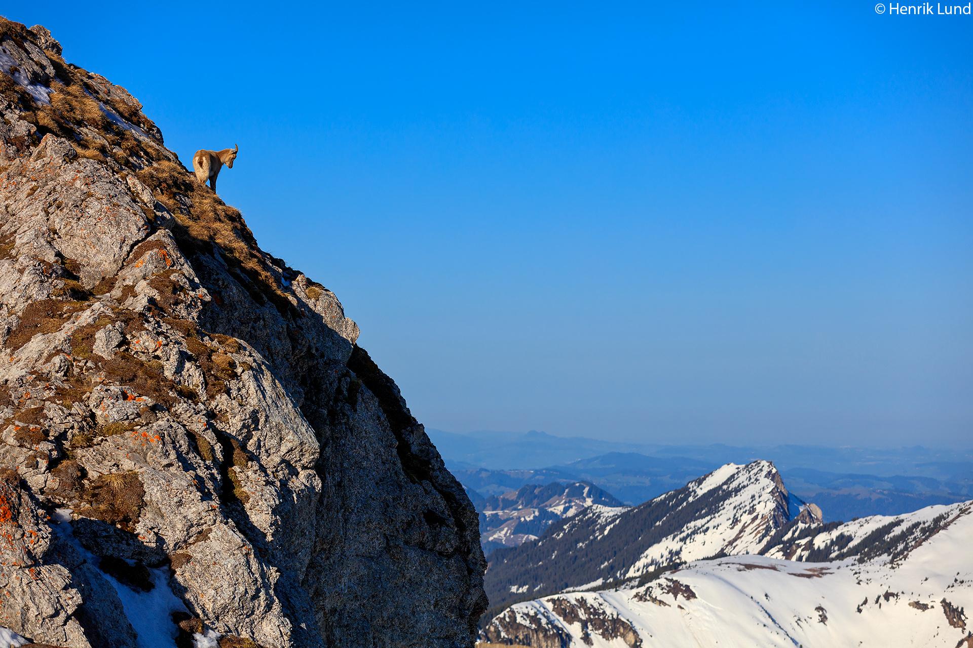 Alpine ibex in its magnificent habitat on top of mount Pilatus near Lucerne in Switzerland. April 2018.
