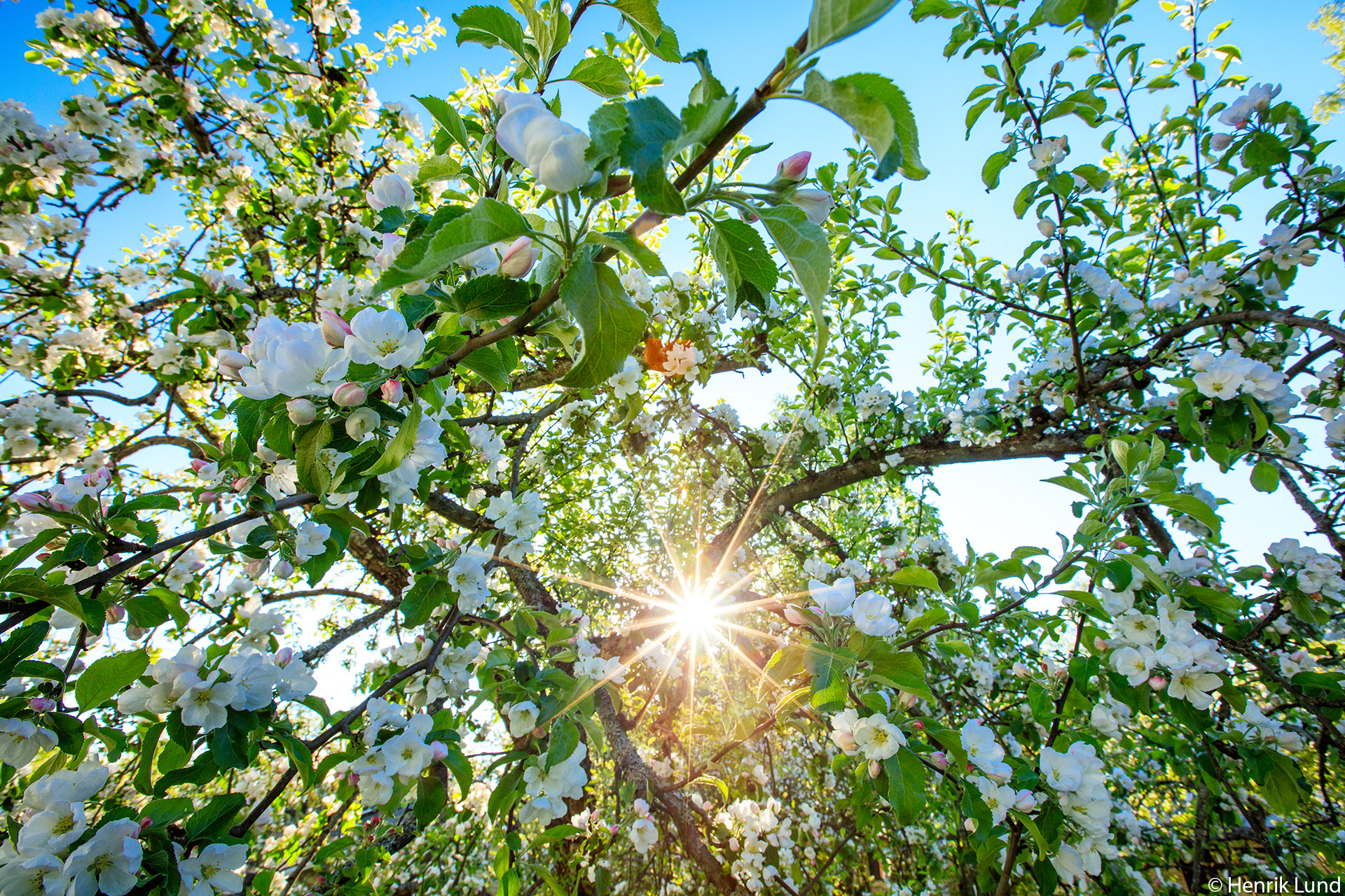 Appletrees blossoming in our garden, Lappträsk, Finland. May 2018.