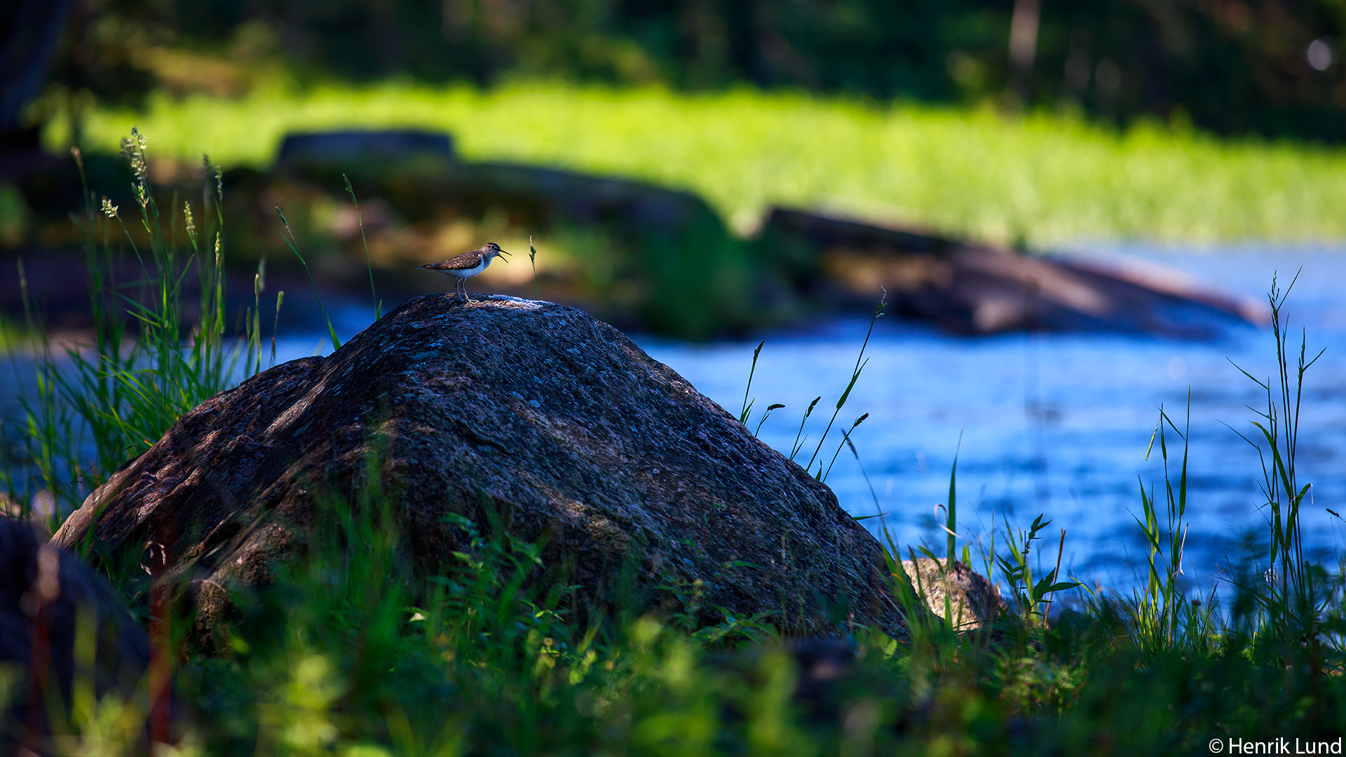 Common sandpiper in its habitat. Emsalö, Porvoo, Finland. June 2018.