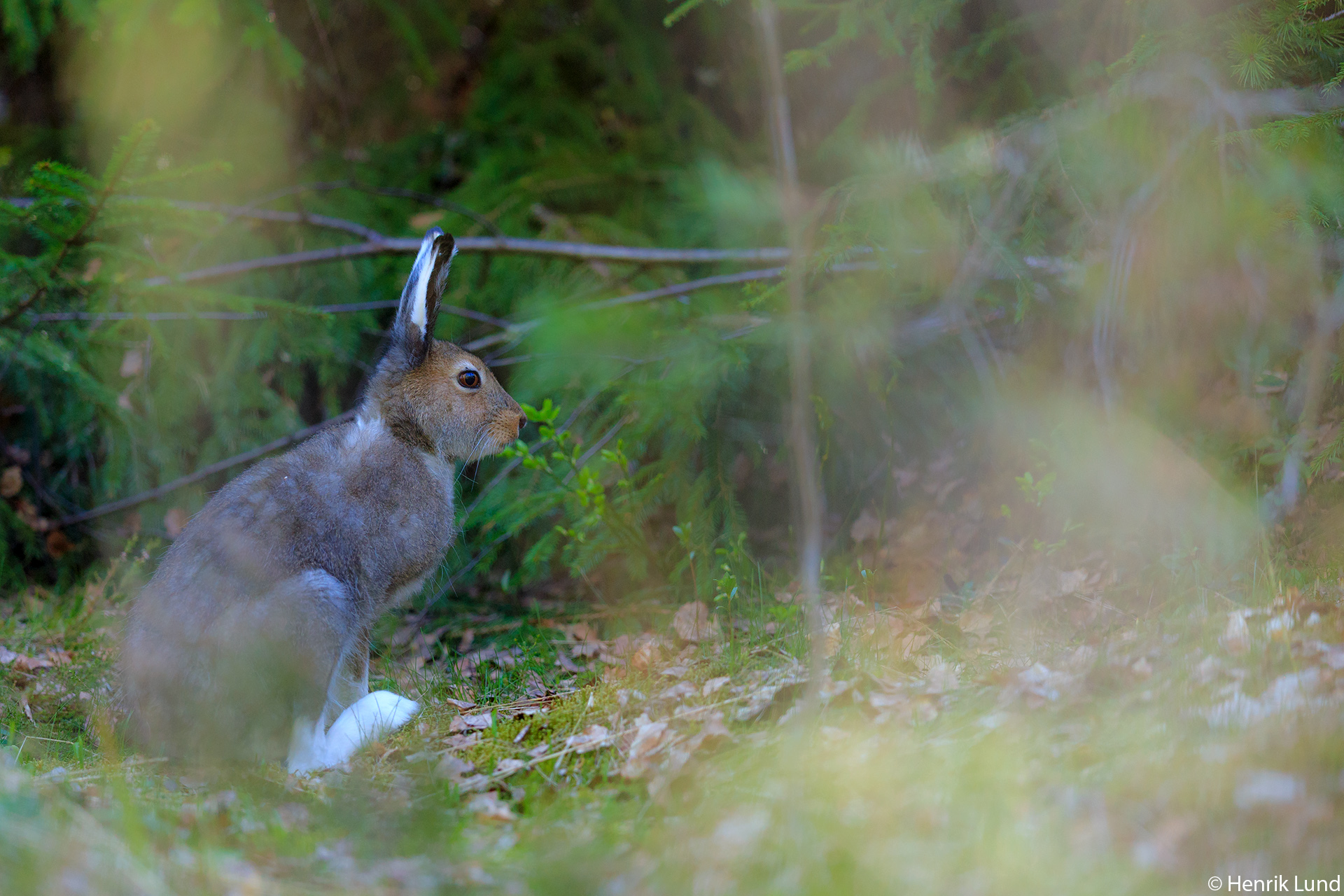 Mountain hare trying to hide out in the forest in the early may morning. Lappträsk, Finland. May 2018.