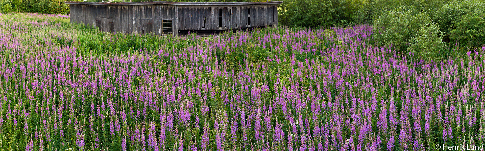 Fireweed in front of the old sawworks. Aerial panorama. Lappträsk, Finland. June 2018.