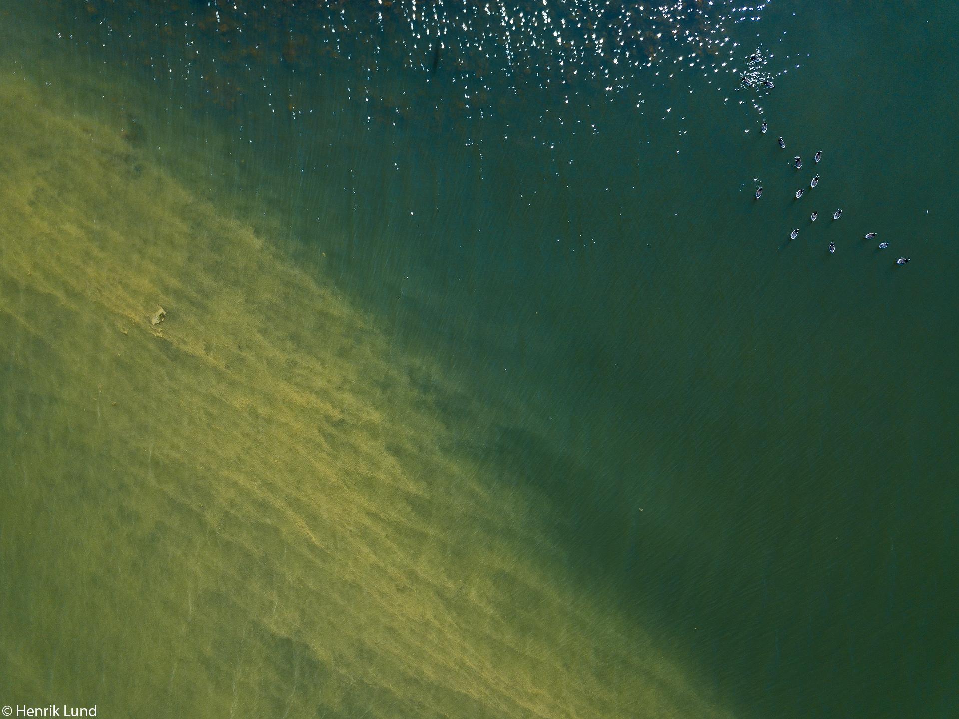 Barnacle geese swimming to avoid the cyanobacterial bloom fleet. Porvoo, Finland. July 2018.