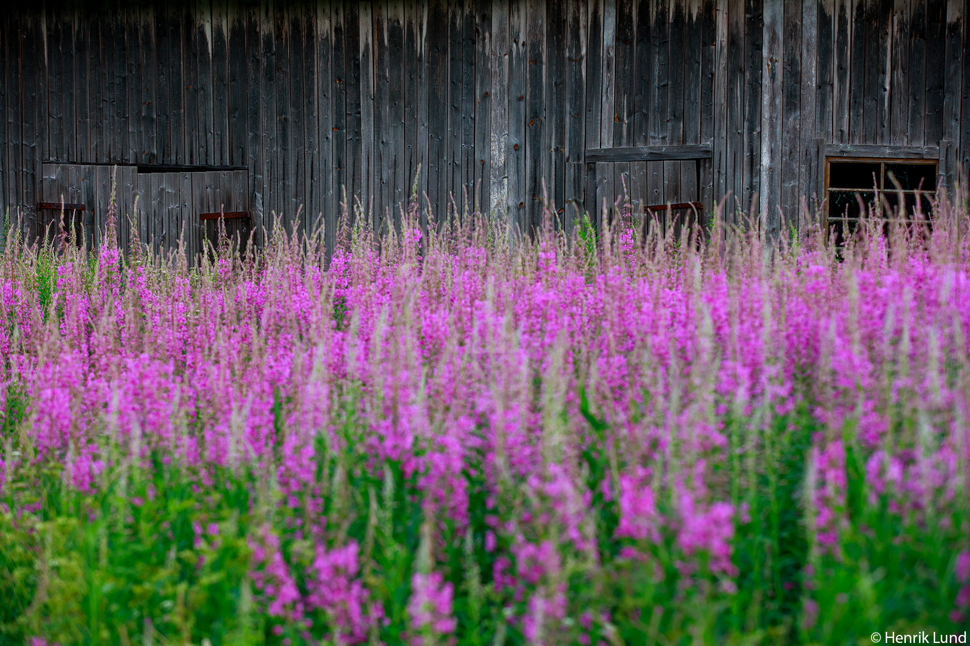 Fireweed at the old sawmill. Norrby, Lappträsk, Finland. June 2018.