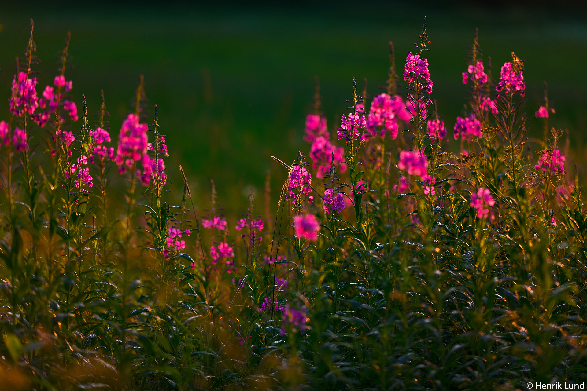Fireweed in evening glory. Lappträsk, Finland. July 2018.