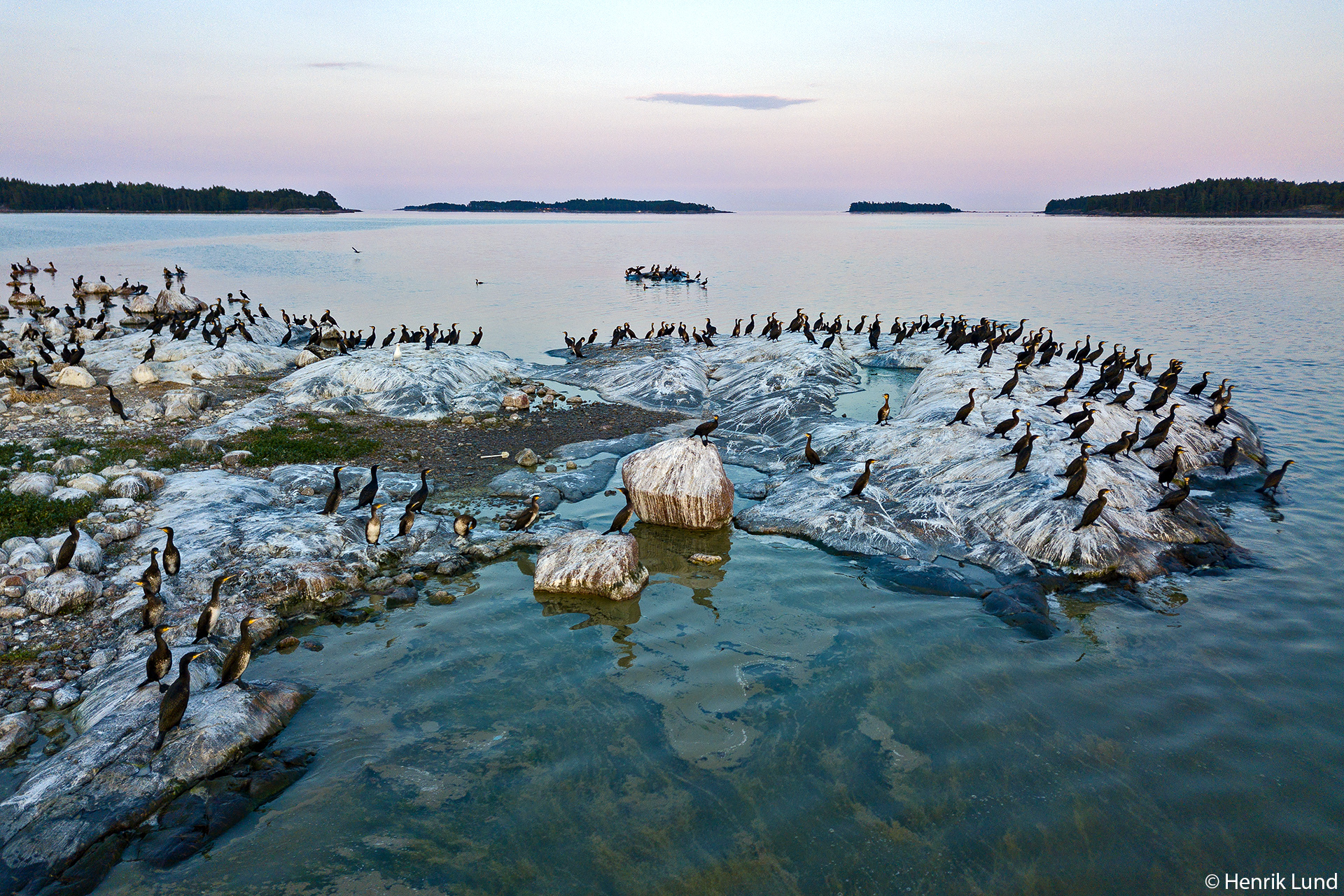 Great cormorants on their island in the Finnish archipelago, surrounded by a sea with cyanobacteria floating around. Porvoo, Finland, July 2018.