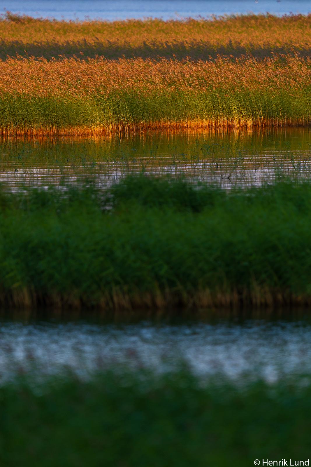 Reed in sunset. Sarvsal, Lovisa, Finland. July 2018.