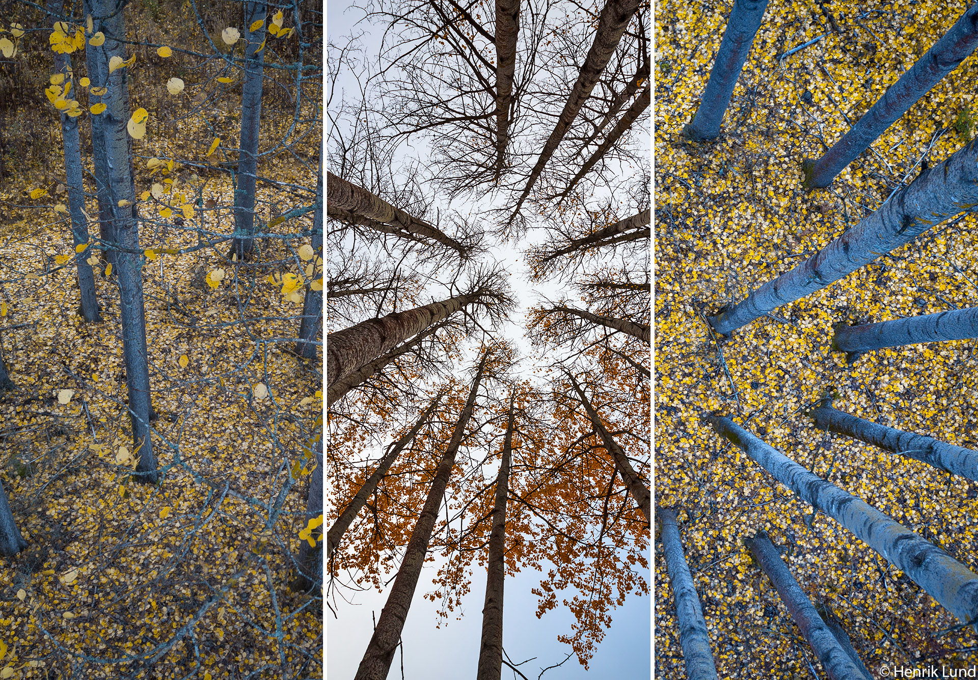 Photocomposite of aspen autumn study. Lappträsk, Finland. October 2018.
